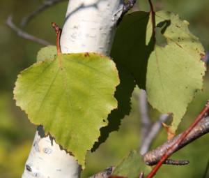 brezov-list