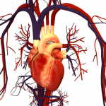 srce-i-krvotok
