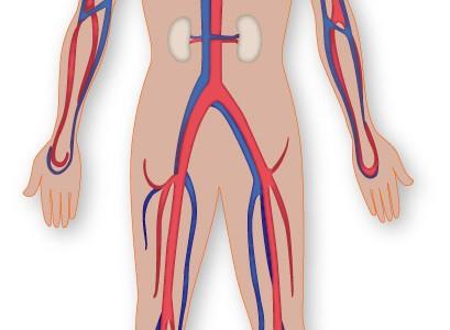 srce-krvotok