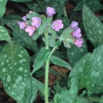 P/170/6 Polmonaria ( Pulmonaria officinalis )